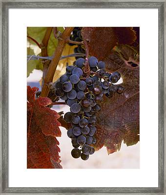 Agriculture - Closeup Of A Cluster Framed Print by Charles Blakeslee