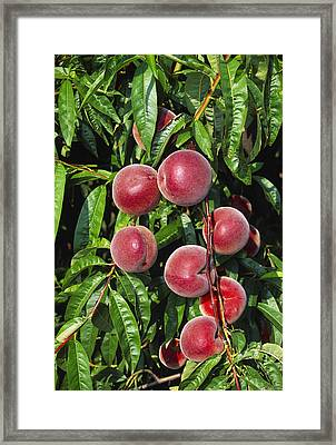 Agriculture - Closeup Of Ripe, Harvest Framed Print