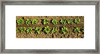 Agriculture - Closeup Of Two Rows Framed Print by Timothy Hearsum