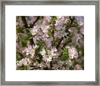 Agriculture - Closeup View Of Apple Framed Print by Gary Holscher