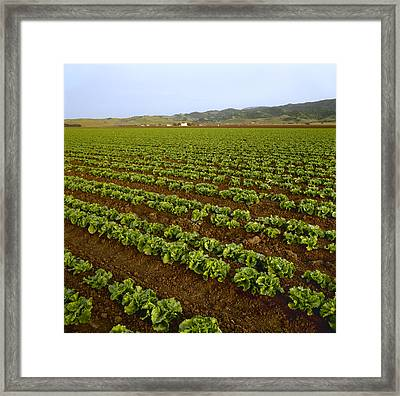 Agriculture - Field Of Healthy Mid Framed Print by Ed Young