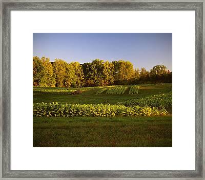 Agriculture - Field Of Maturing Flue Framed Print