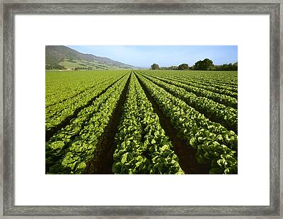 Agriculture - Field Of Mid Growth Framed Print by Ed Young