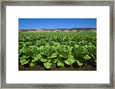 Agriculture - Field Of Romaine Lettuce Framed Print by John Wigmore