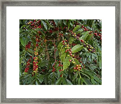 Agriculture - Kona Coffee Beans Framed Print by G. Brad Lewis