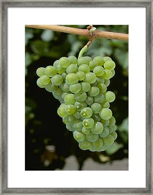 Agriculture - Mature Pinot Blanc Wine Framed Print