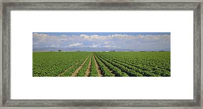 Agriculture - Mid Growth Pre-bloom Framed Print by Timothy Hearsum