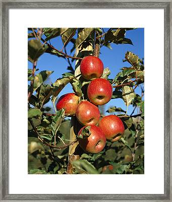 Agriculture - Pink Lady Apples Framed Print by Gary Holscher