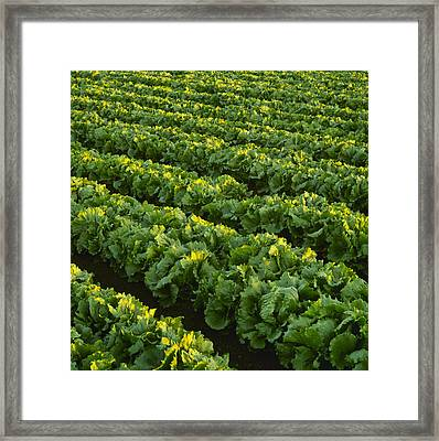 Agriculture - Rows Of Mature Iceberg Framed Print by Ed Young