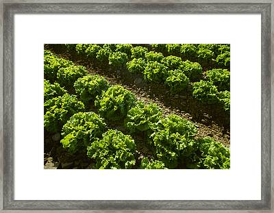 Agriculture - Rows Of Mid Growth Green Framed Print by Ed Young