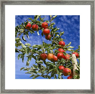 Agriculture - Royal Gala Apples On Tree Framed Print