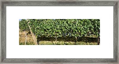 Agriculture - Vineyard Of Mature Syrah Framed Print by Charles Blakeslee