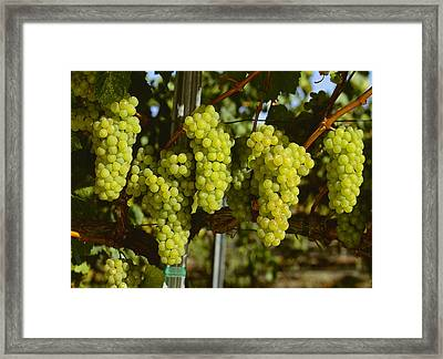 Agriculture - Wine Grapes, Chardonnay Framed Print by Jack Clark