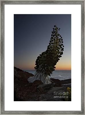 Ahinahina - Silversword - Argyroxiphium Sandwicense - Summit Haleakala Maui Hawaii Framed Print by Sharon Mau