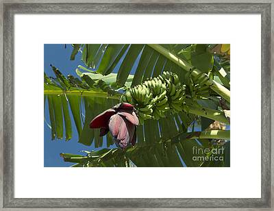 'ahui Mai'a O Wailea - Banana Flower Framed Print by Sharon Mau