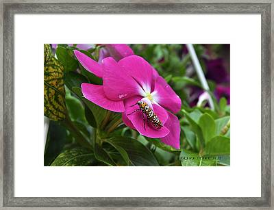 Framed Print featuring the photograph Ailanthus Webworm Moth Visiting My Garden by Verana Stark