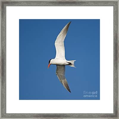 Airborne... Framed Print by Nina Stavlund