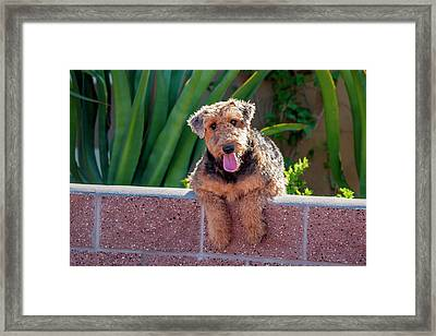 Airedale Coming Over A Wall Framed Print by Zandria Muench Beraldo
