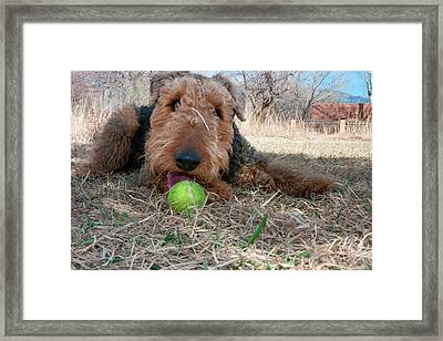 Airedale Playing Ball In Dried Grasses Framed Print by Zandria Muench Beraldo