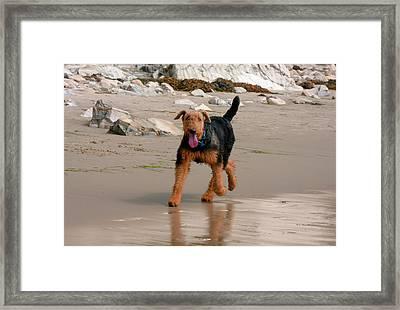 Airedale Running On The Beach (mr Framed Print by Zandria Muench Beraldo