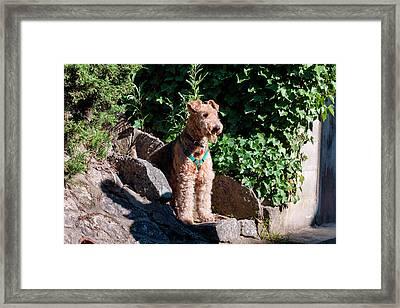 Airedale Sitting On Stone Steps (mr Framed Print by Zandria Muench Beraldo