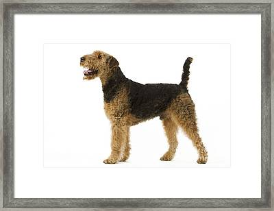 Airedale Terrier Dog Framed Print by Jean-Michel Labat