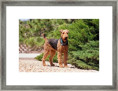 Airedale Terrier Standing By Juniper Framed Print by Zandria Muench Beraldo
