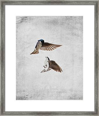 Airobatics - Tree Swallows Framed Print by Jai Johnson