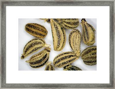 Ajowan Fruits Framed Print