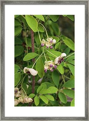 Akebia Quinata - Cream Flowered Framed Print by Geoff Kidd