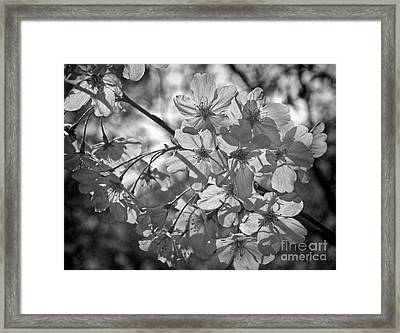 Framed Print featuring the photograph Akebono In Monochrome by Peggy Hughes
