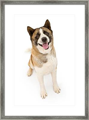 Akita Dog Sitting And Looking Forward Framed Print by Susan Schmitz