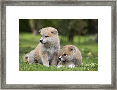 Akita Inu Puppy Dogs Framed Print by Jean-Michel Labat