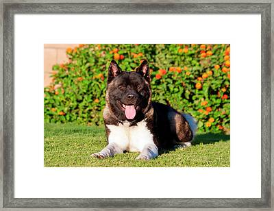 Akita Looking Framed Print by Zandria Muench Beraldo