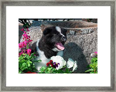 Akita Puppy In The Flowers (mr & Pr Framed Print by Zandria Muench Beraldo