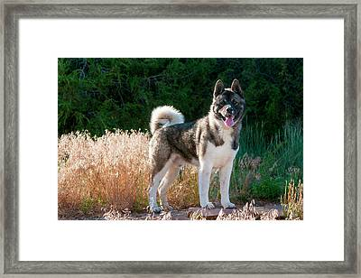 Akita Standing Near Dried Grasses Framed Print by Zandria Muench Beraldo