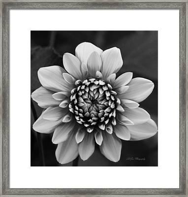 Ala Mode Dahlia In Black And White Framed Print