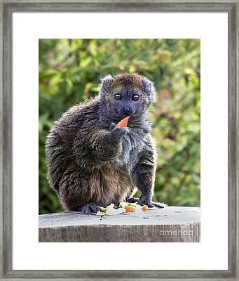 Alaotran Gentle Lemur Framed Print