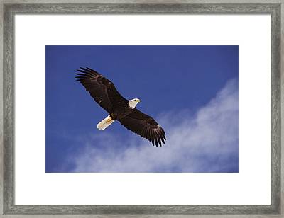 Alaska. Bald Eagle Flying Framed Print by Anonymous