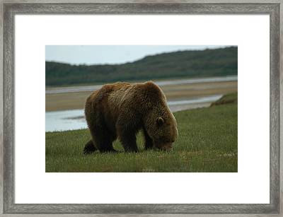 Alaska Brown Bear Framed Print