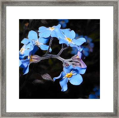 Alaska Forget Me Not Framed Print by Karen Horn
