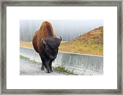 Alaska Hwy Bison Framed Print by Scott Holmes