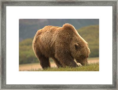 Alaska Kodiak Bear Framed Print