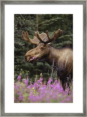 Alaska Moose Feeding On Fireweed Alaska Framed Print