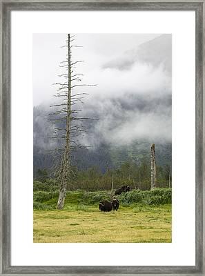 Alaska Musk Ox Framed Print by Saya Studios