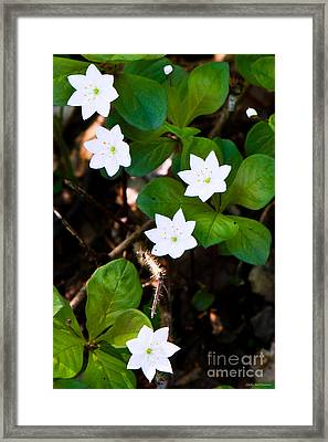 Alaska Wild Flower Framed Print by Chris Heitstuman