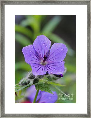 Alaska Wildflower Framed Print