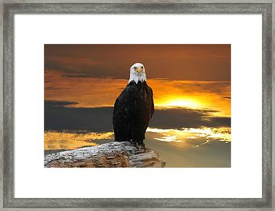 Alaskan Bald Eagle At Sunset Framed Print
