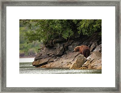 Alaskan Grizzly Bear, Ursus Arctos Framed Print by Jak Wonderly