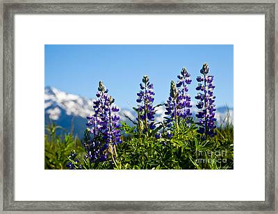 Alaskan Lupin Framed Print by Chris Heitstuman